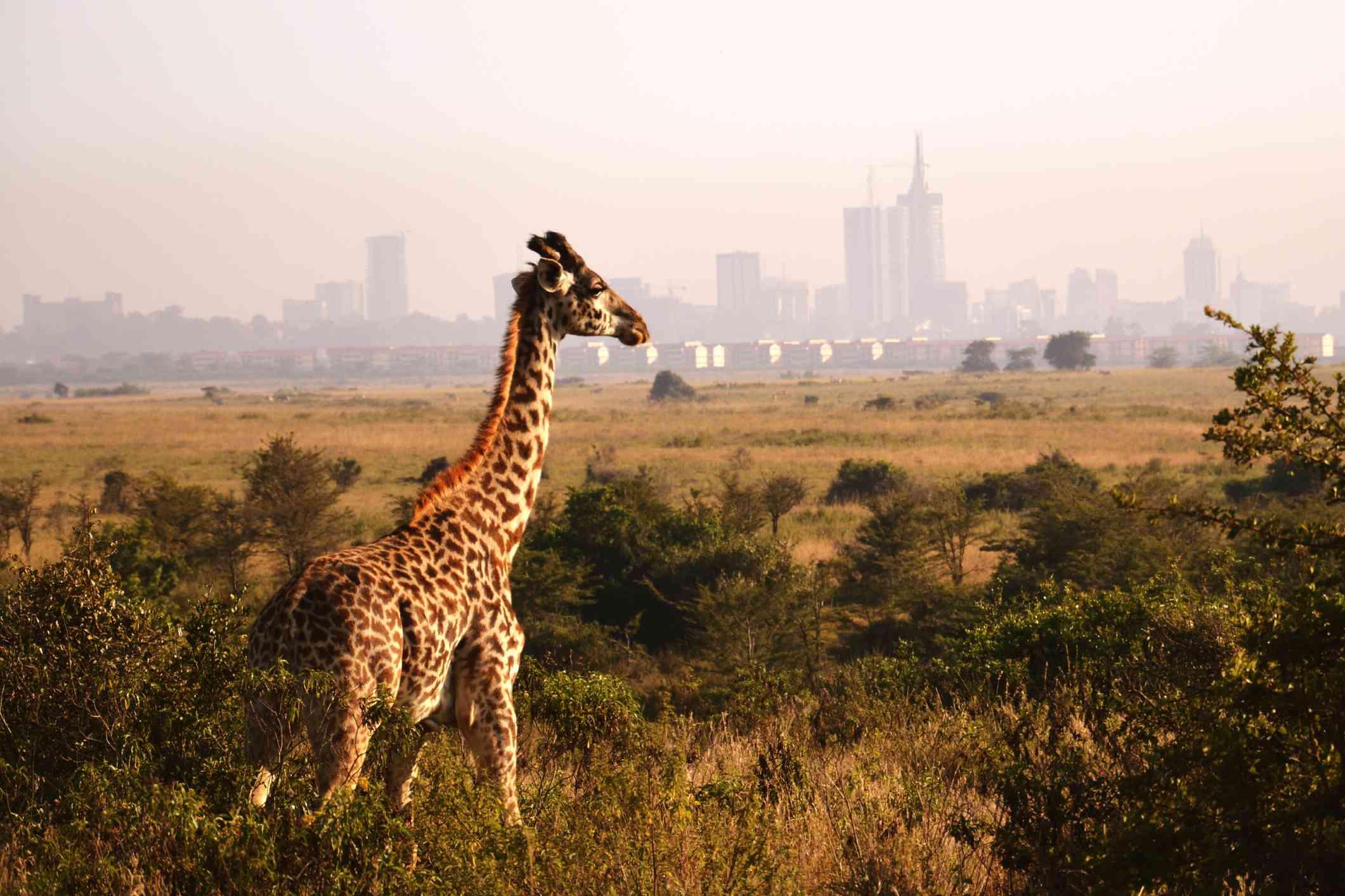 Giraffe standing against a city backdrop in Nairobi National Park