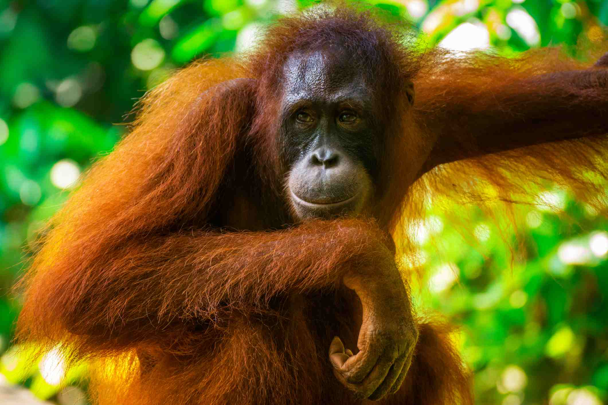 An orangutan in Gunung Leusser National Park, Sumatra