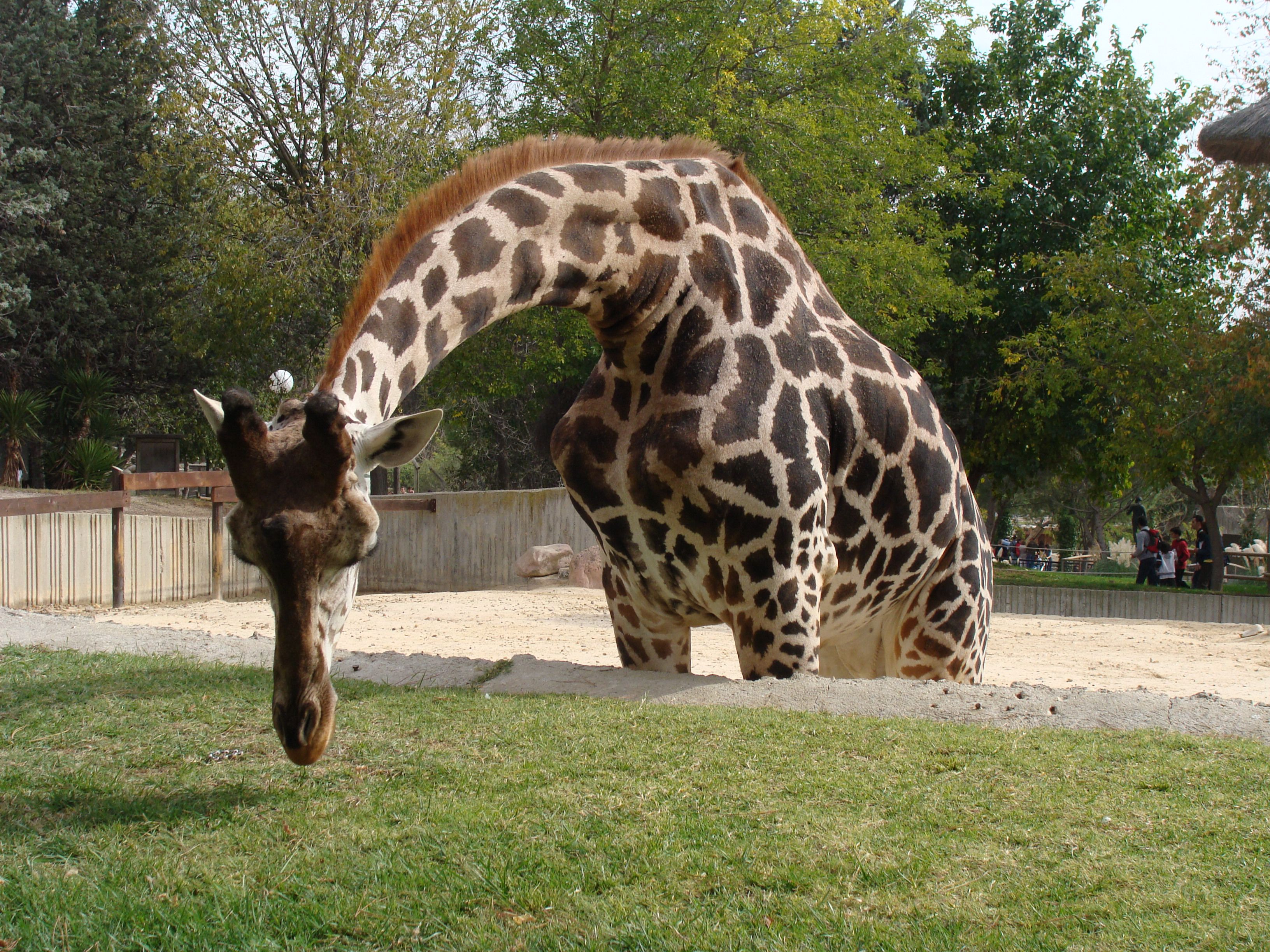 Northern giraffe in the Zoo Aquarium in Madrid, Spain