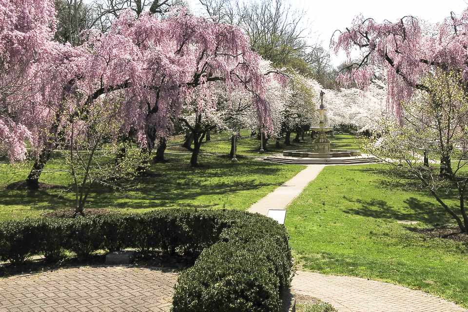 Brandywine Park cherry trees in full bloom in Wilmington, DE, USA