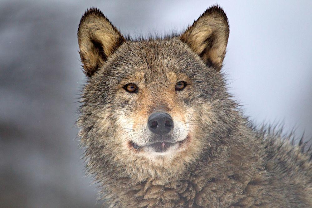 A wolf in Belarus