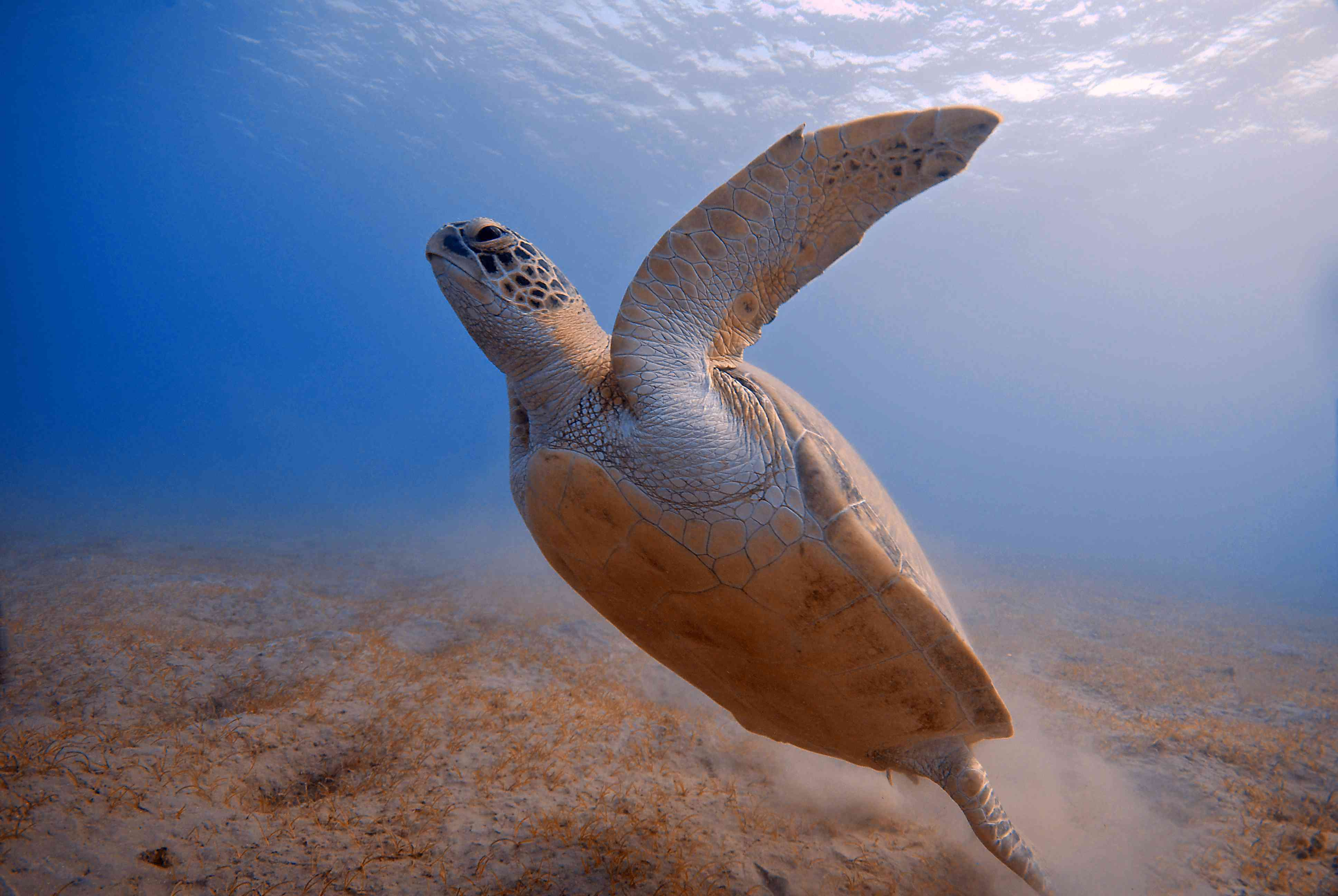Turtle underwater in Red Sea Egypt