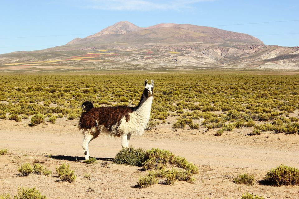 Alpaca in the Atacama Desert