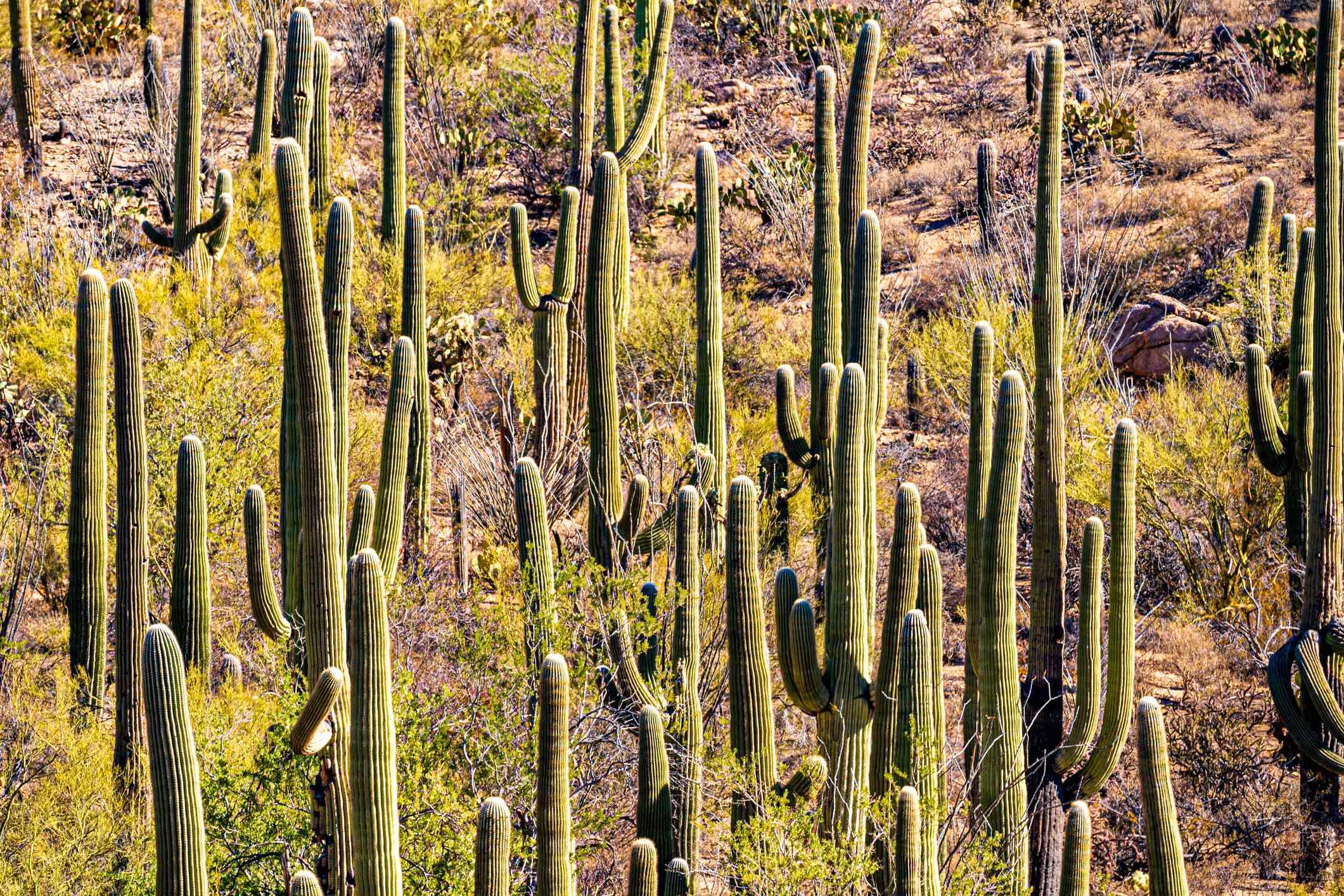 Saguaros in Saguaro National Park