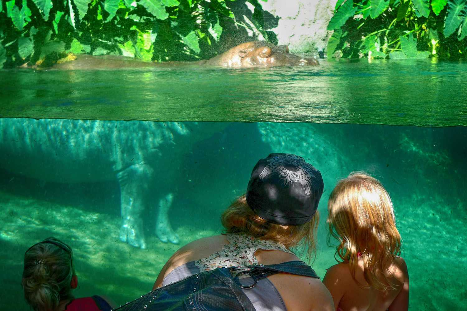 Watching the Hippos at the San Diego Zoo