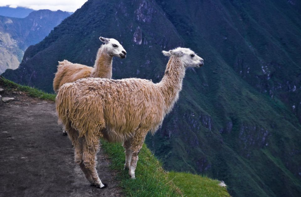 Llamas standing by a cliff at Machu Picchu, Andes Mountains, Peru, South America