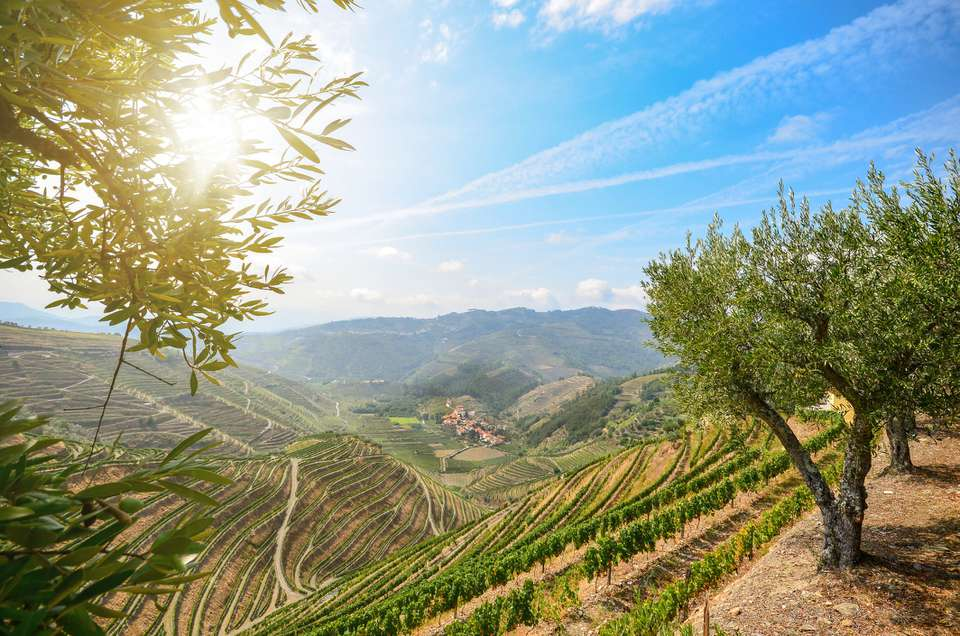 Vineyards and olive trees in the Douro Valley near Lamego, Portugal Europe