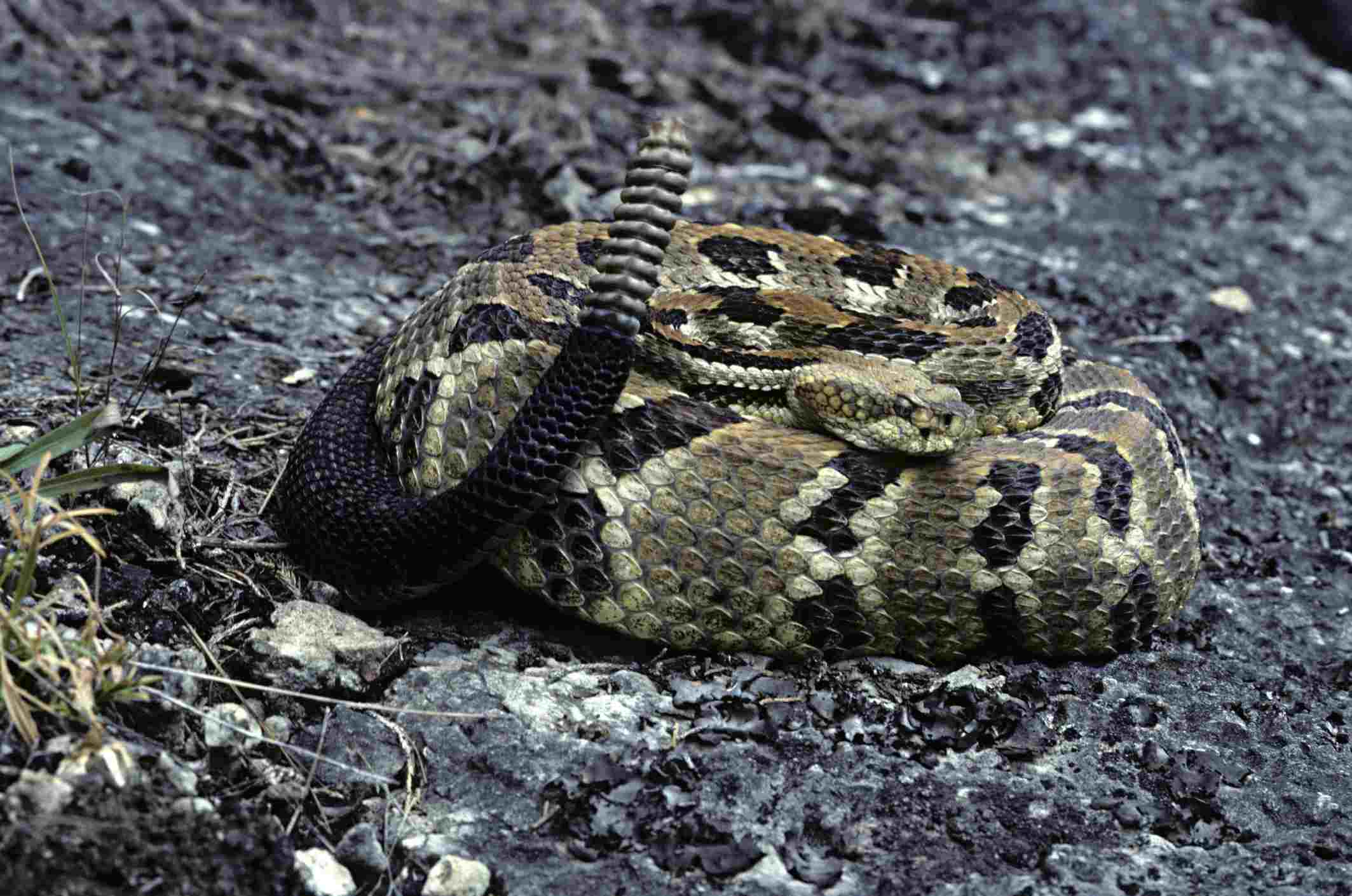 The Venomous Snakes of Tennessee