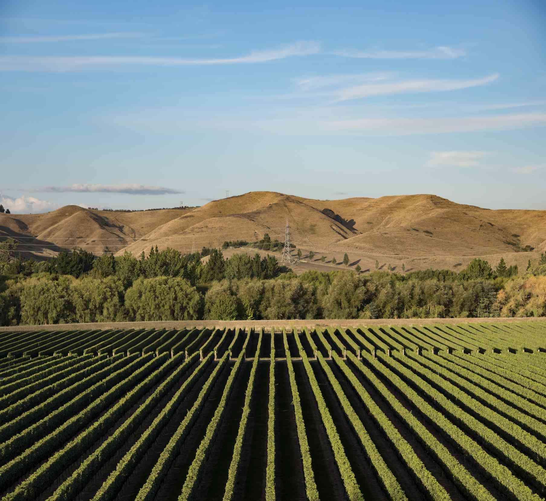 Vineyard at Hawkes Bay, Isla Norte, Nueva Zelanda