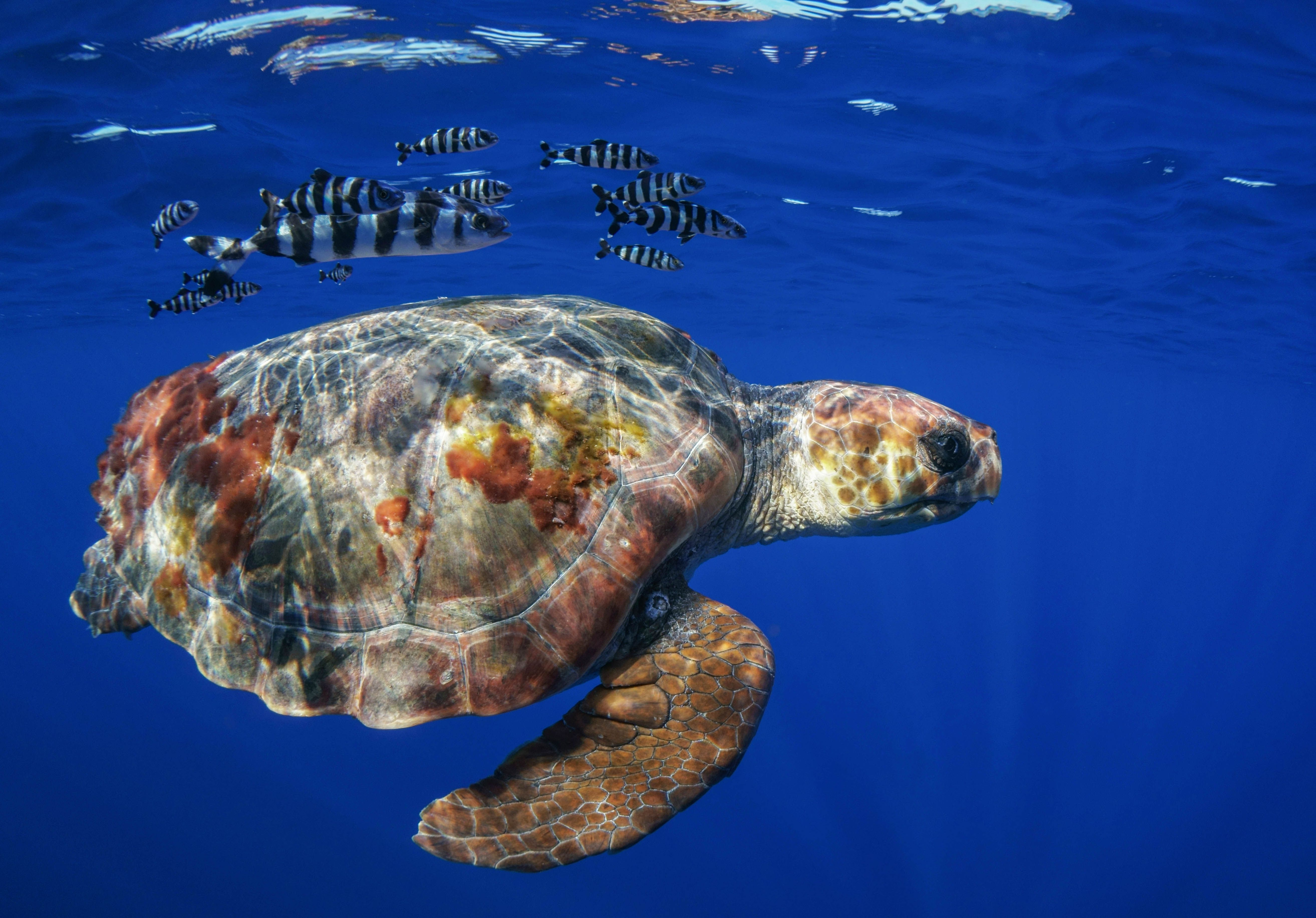 Sea turtle and fish swimming in the sea by Portugal