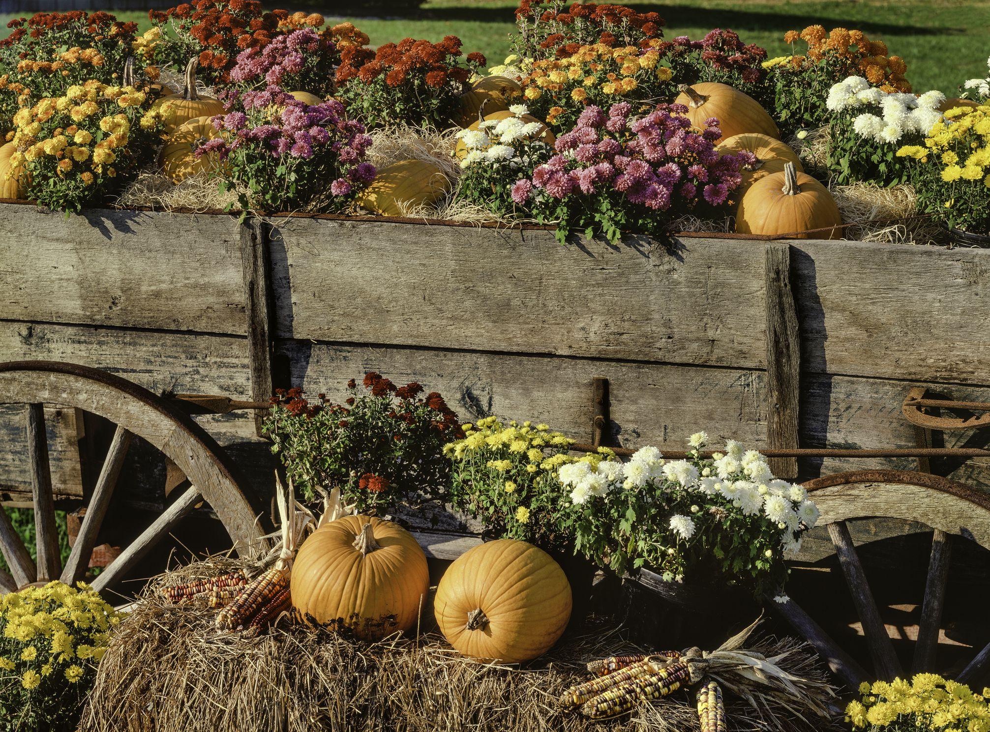 harvest pumpkins, chrysanthemums and antique farm wagon