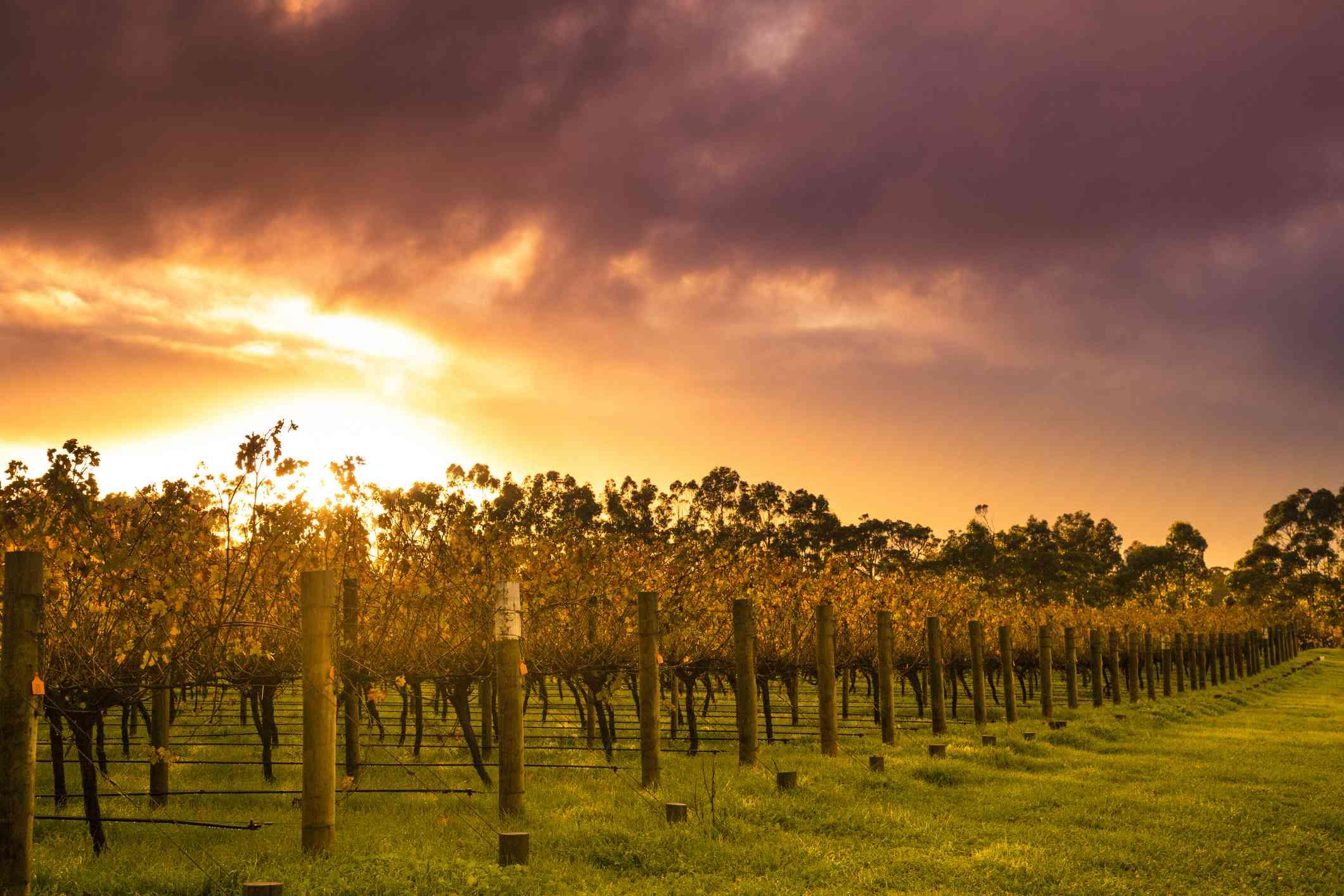 Sunrise over Vines