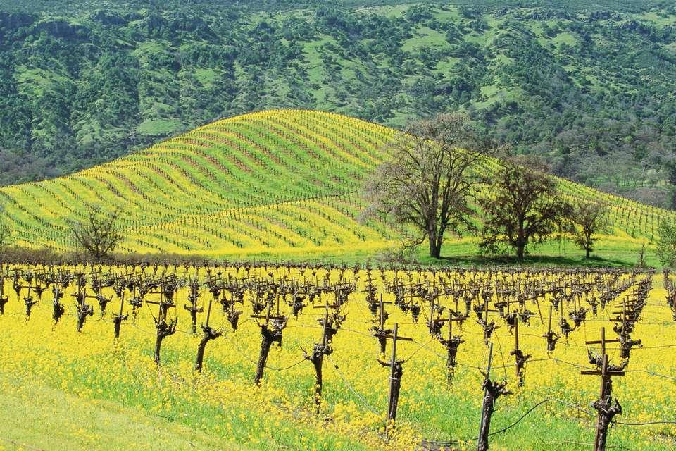 USA, California, Napa Valley, Mustard Seed Vineyard, Mustard plants in a field