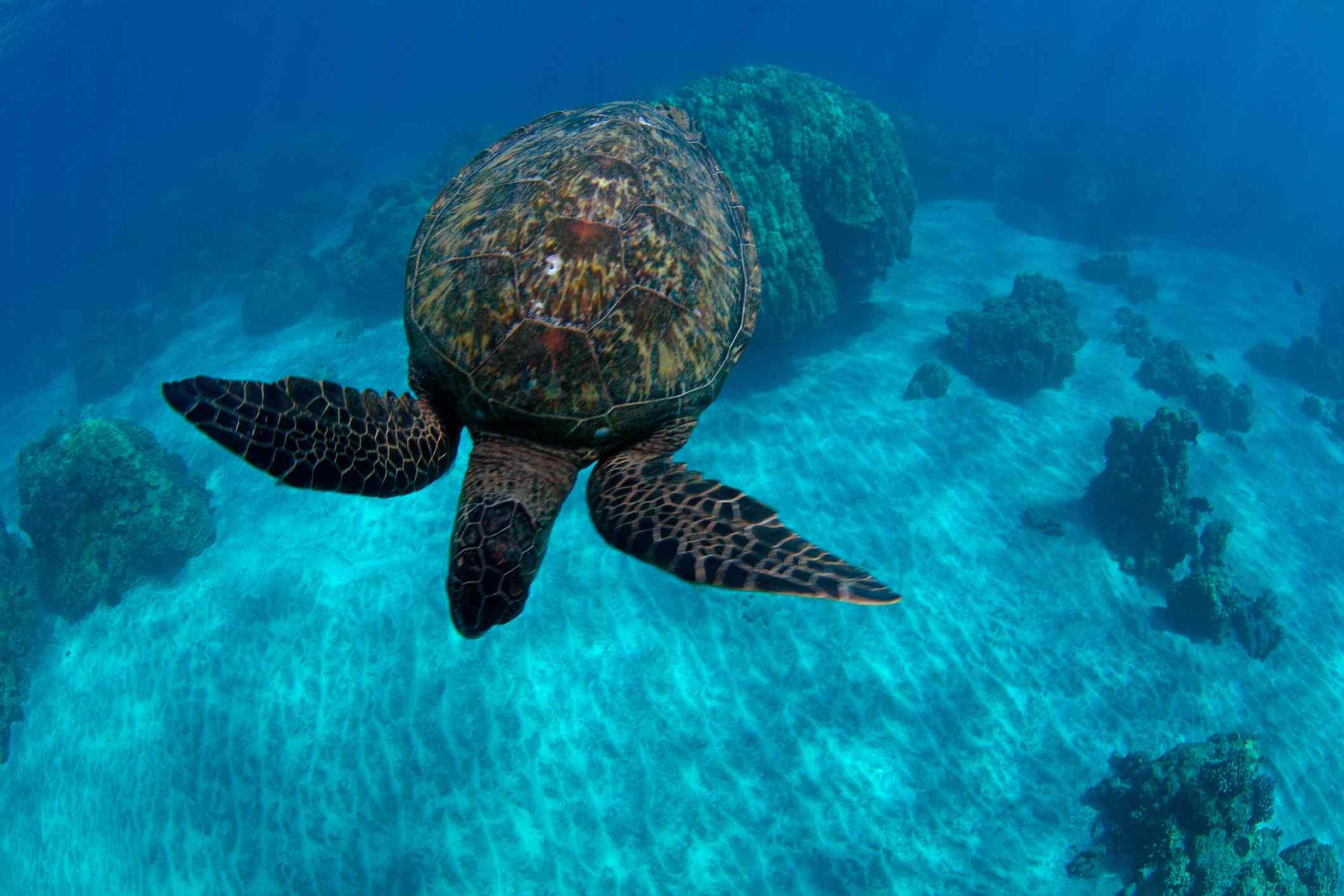 A Hawaiian Green Sea Turtle swimming at Olowalu