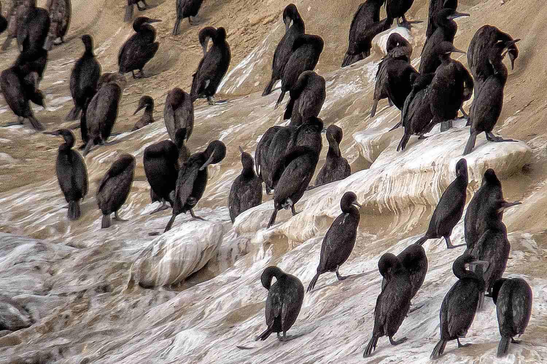 Cormorants on the Cliffs in La Jolla