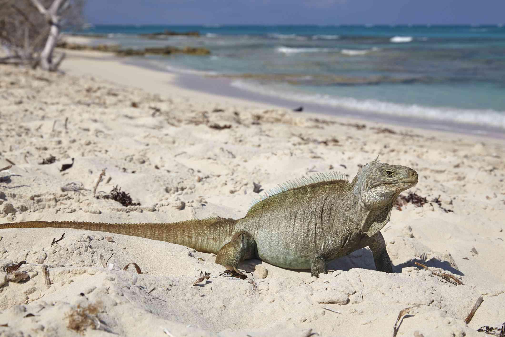 Iguana Island, Turks & Caicos