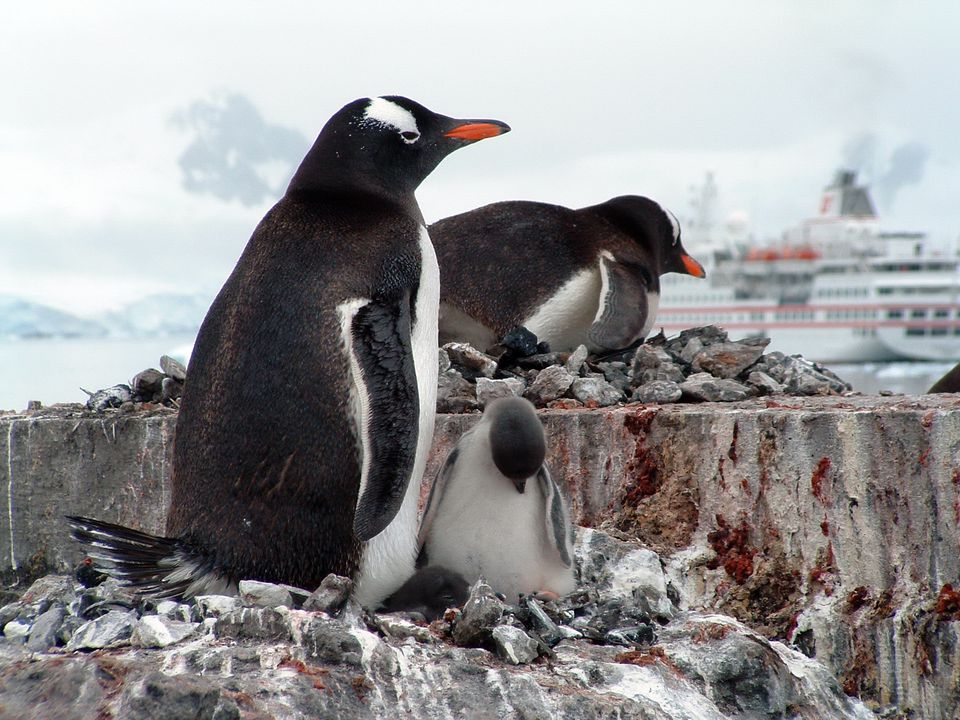 Gentoo parent and baby at Paradise Bay, Antarctica