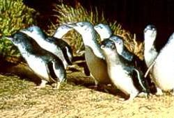 Fairy penguins on Phillip Island, Victor