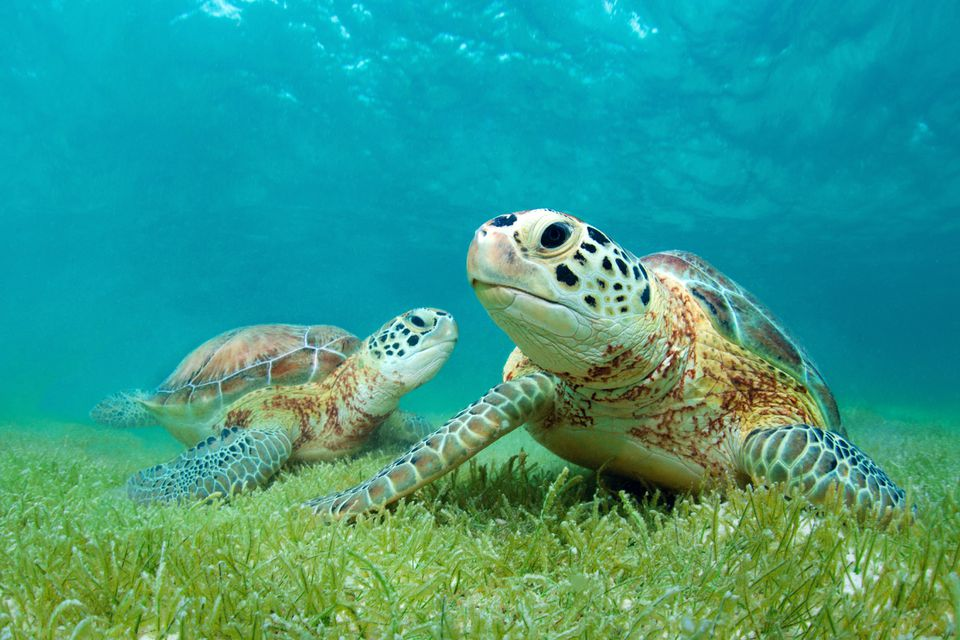Young green sea turtles rest among sea grasses