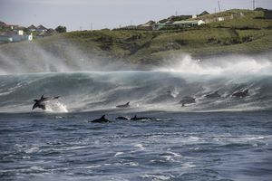 Dolphins Playing In The Surf