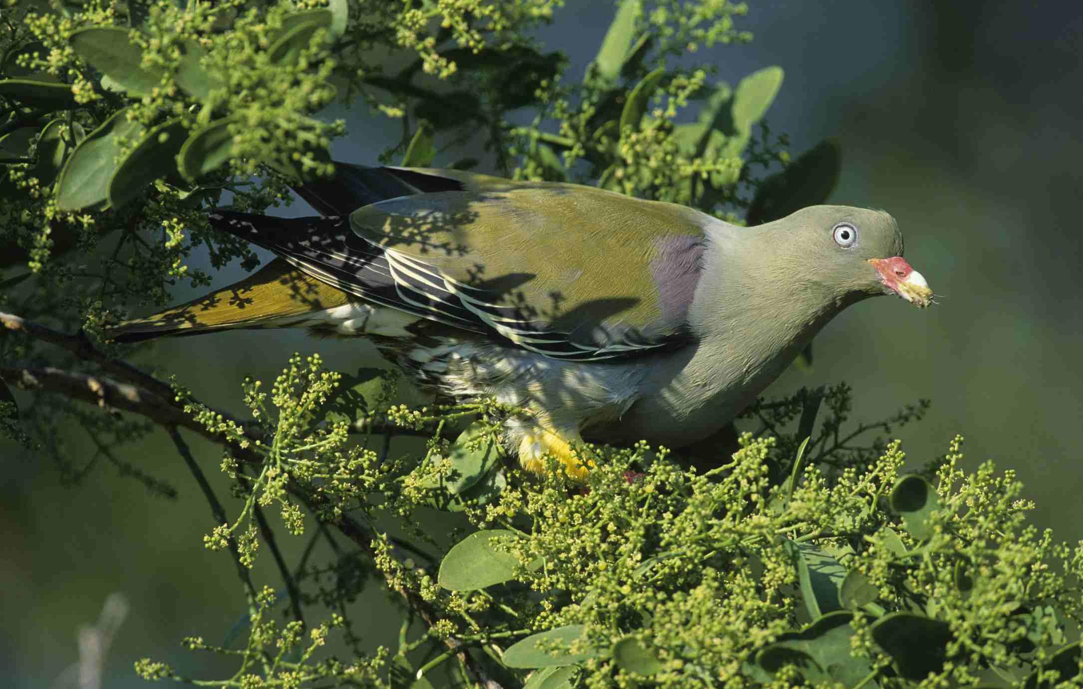 African Green Pigeon, Southern Africa Best Birding