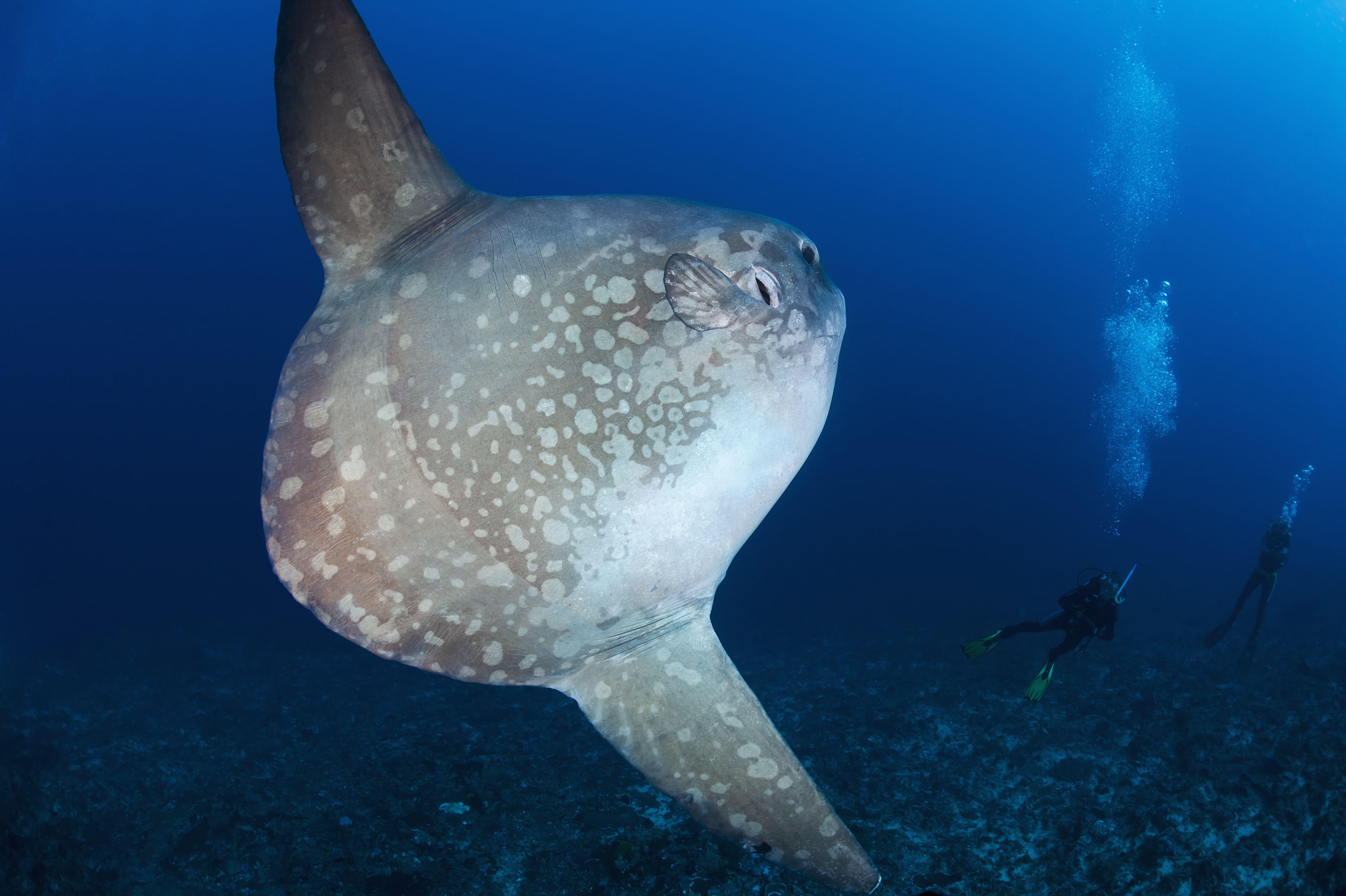 Mola-mola sun fish near Nusa Lembongan
