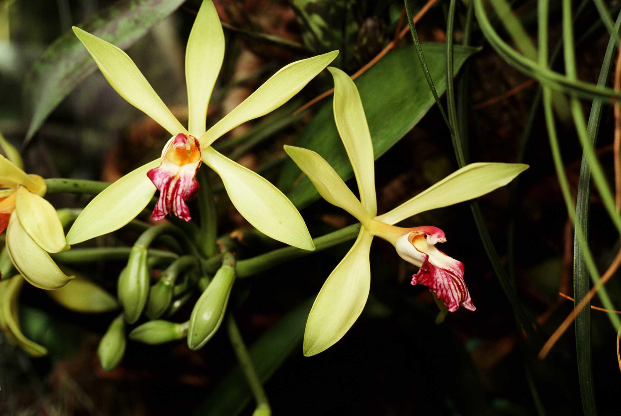 Черные орхидеи фото и названия поделюсь