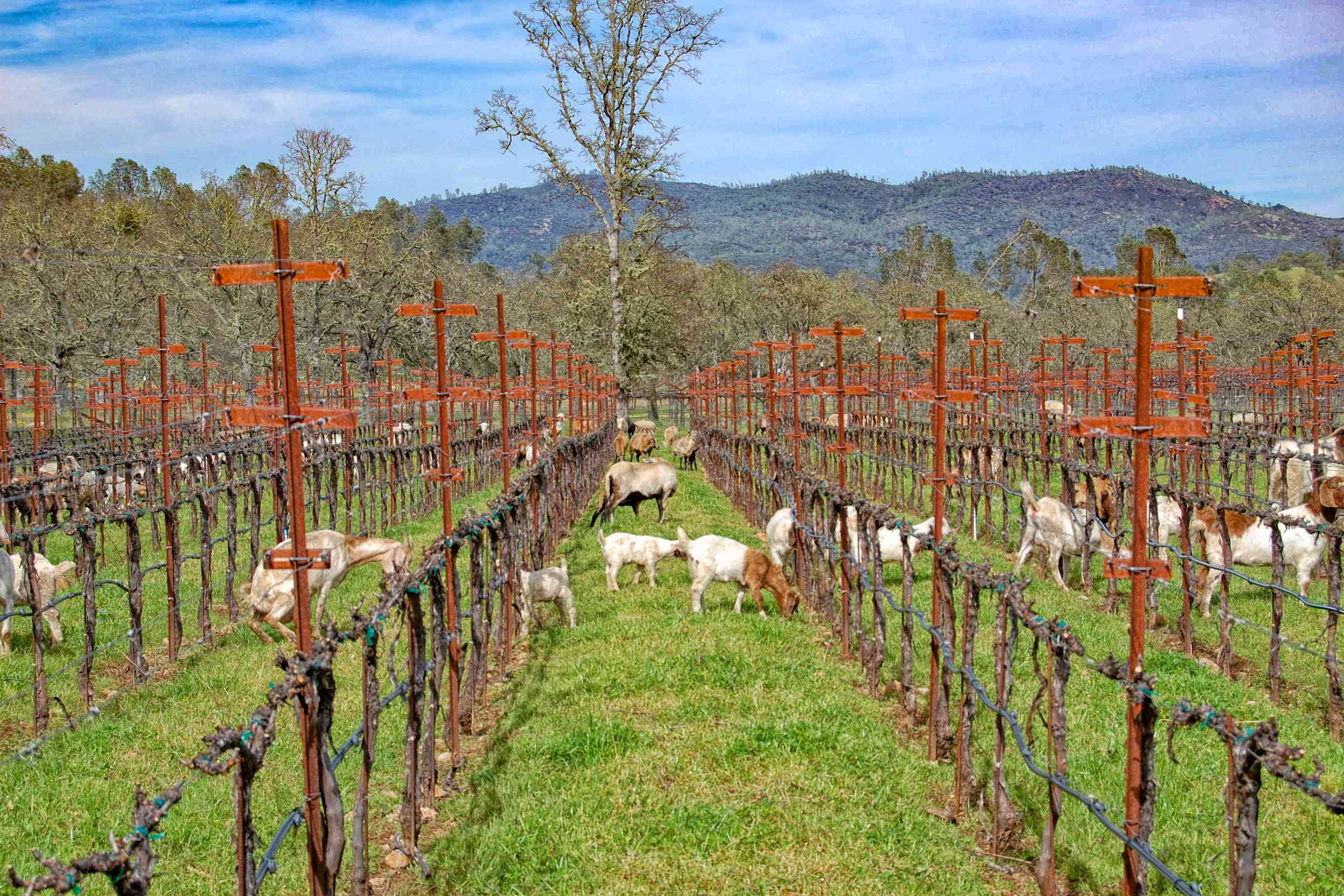 Sheep Grazing in the Vineyard at Heibel Ranch