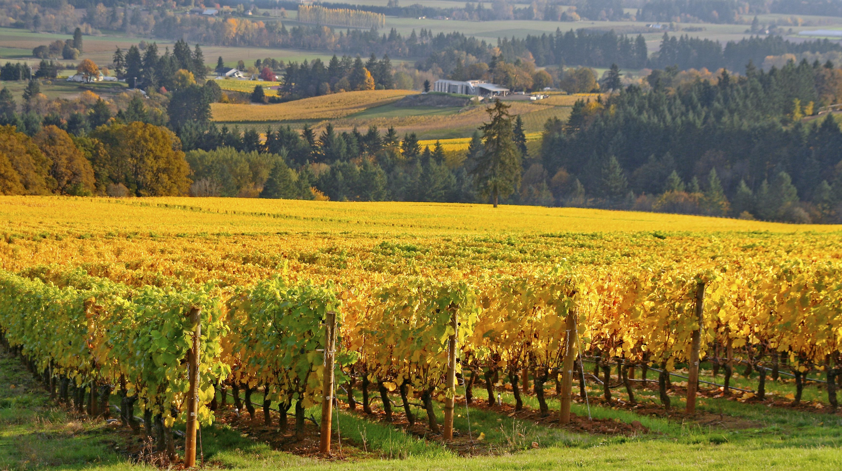Viñedo de Willamette Valley en otoño, Oregón