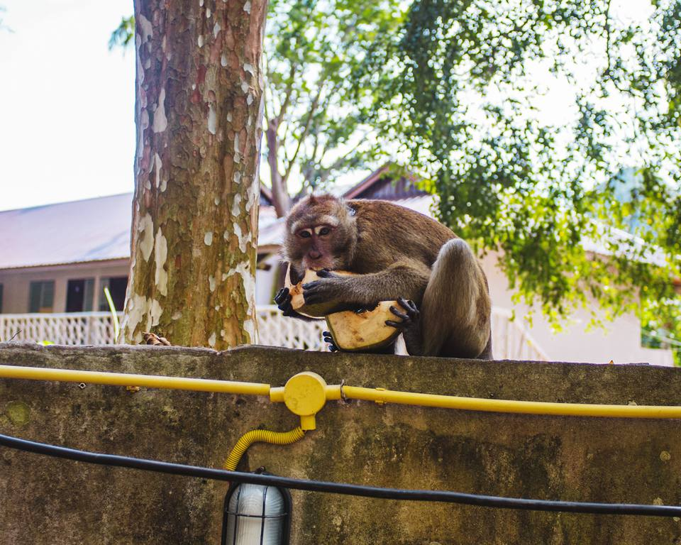 A monkey biting a coconut in Thailand