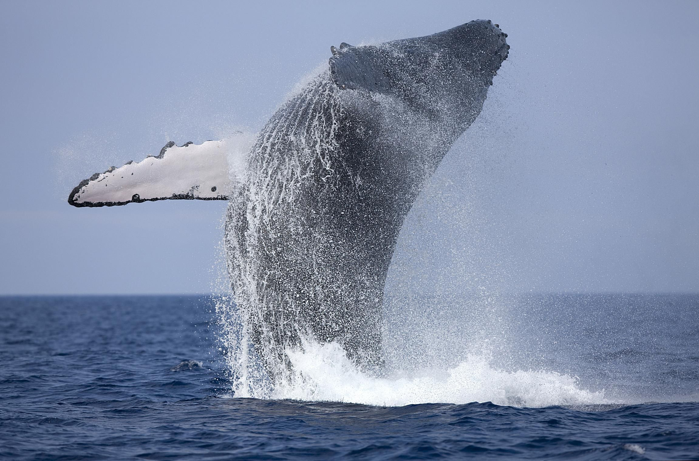 Whale watching in Iceland's frigid waters