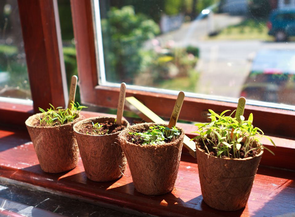 Carrot, coriander, tomato and basil plants on windowsill