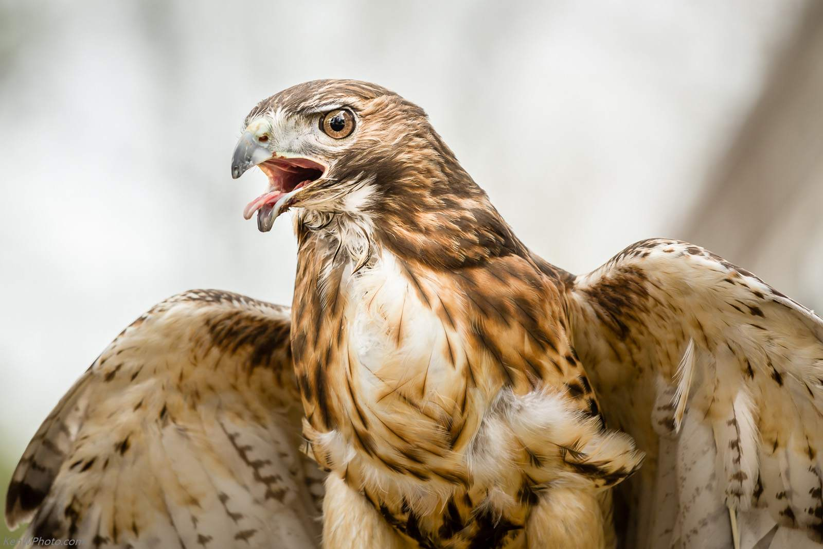 Red-tailed Hawk seen in Concord, NH