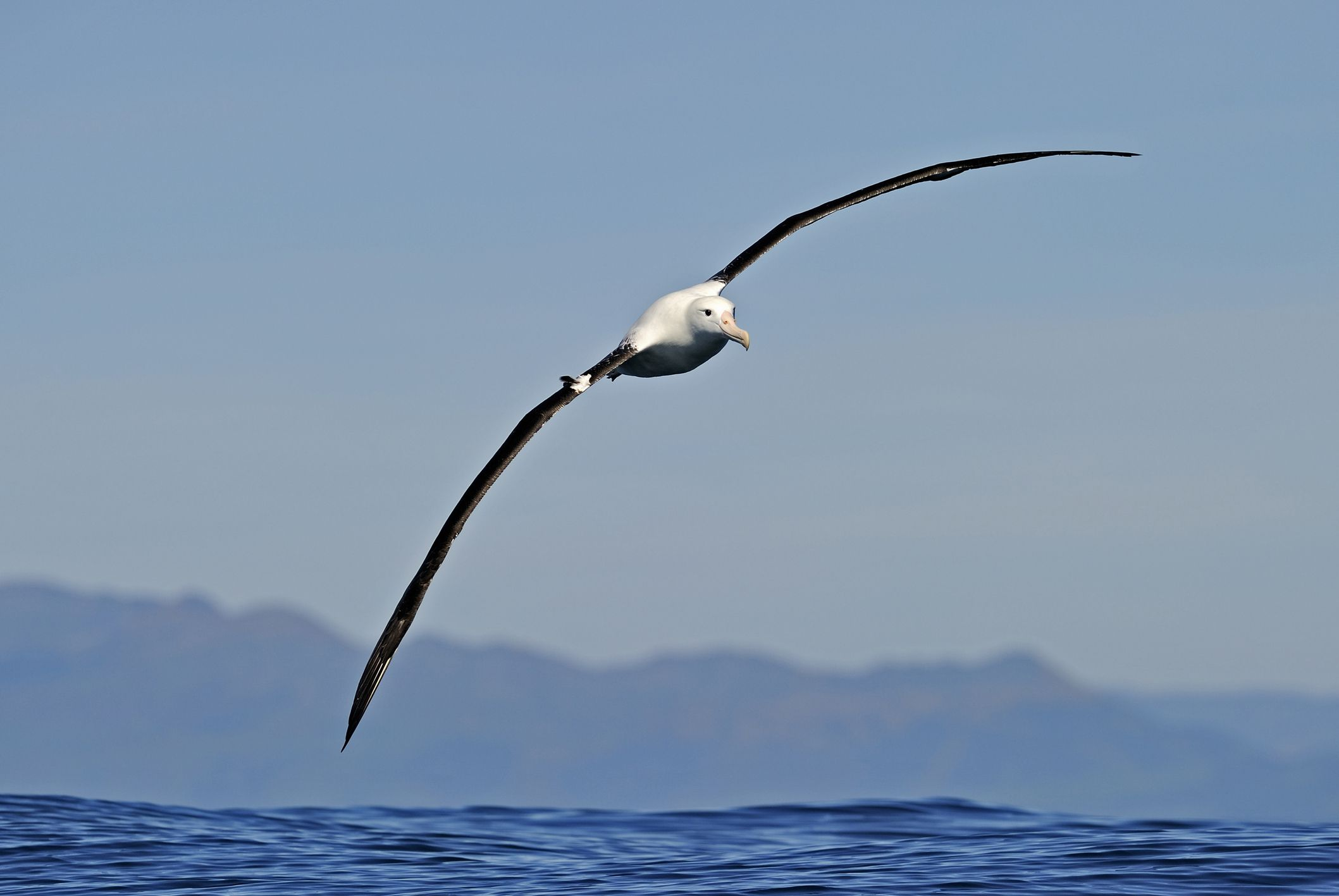 Northern Royal Albatross, Southern Africa Best Birding