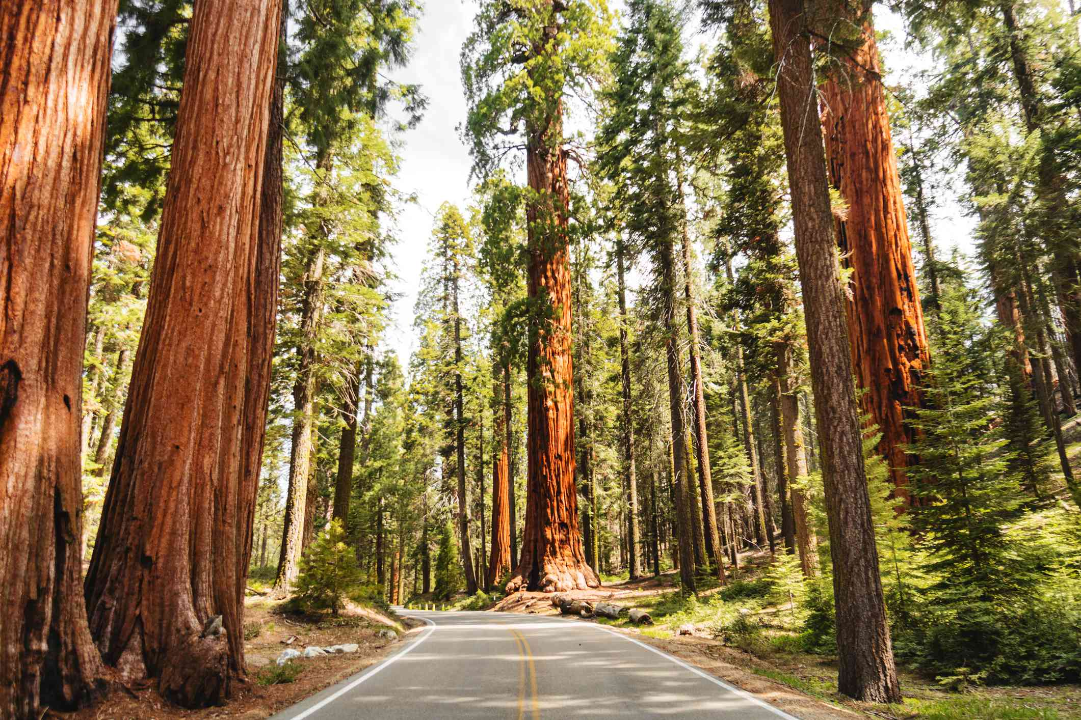 giant sequoia trees along a two laned road