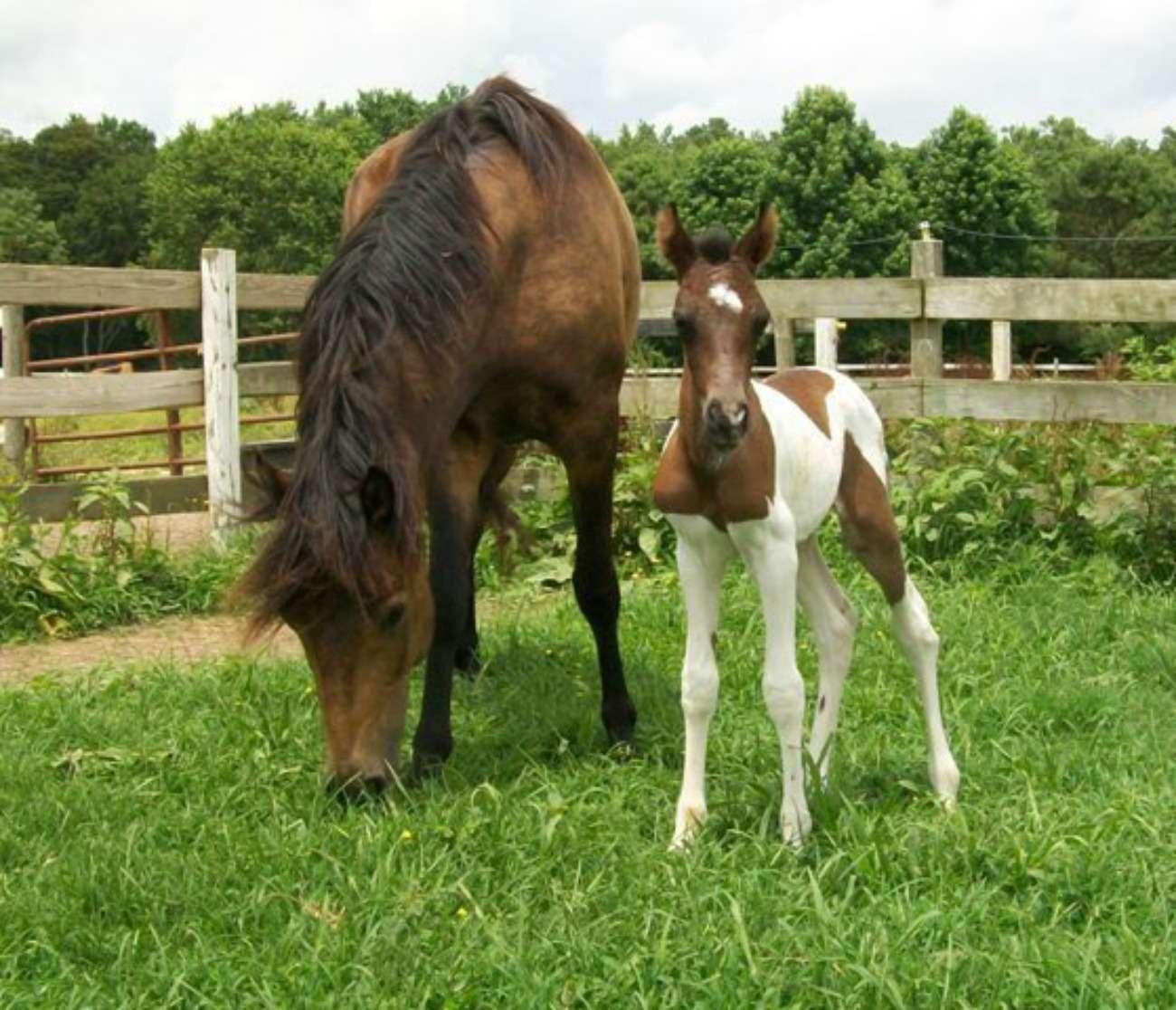 Ponies at Chincoteague Pony Centre