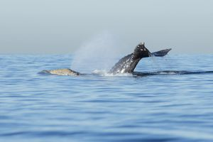 Grey whale (Eschrichtius robustus) diving off the coast of southern California