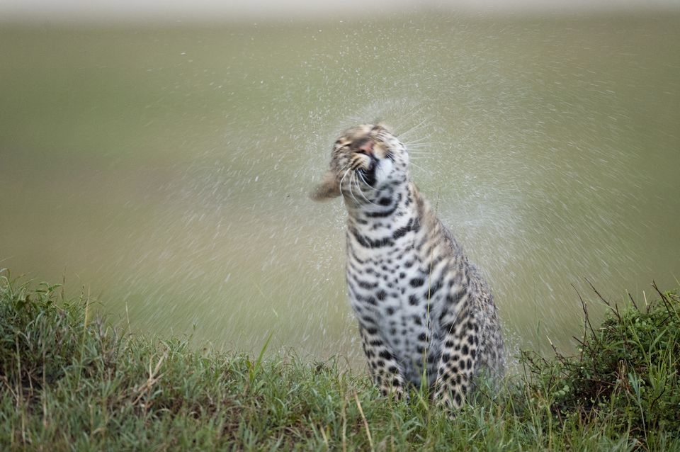 Leopard in the Rain, Kenya