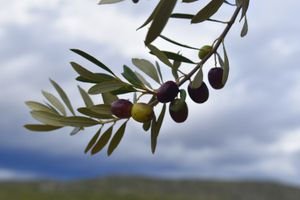 Olives in the Peloponnese