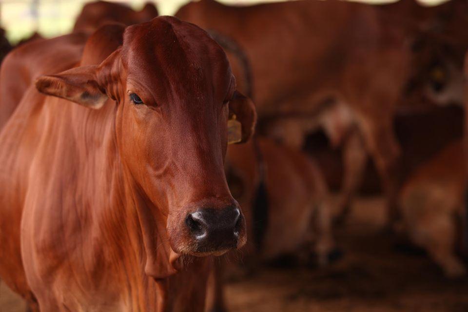 Bombay Panjrapole cows