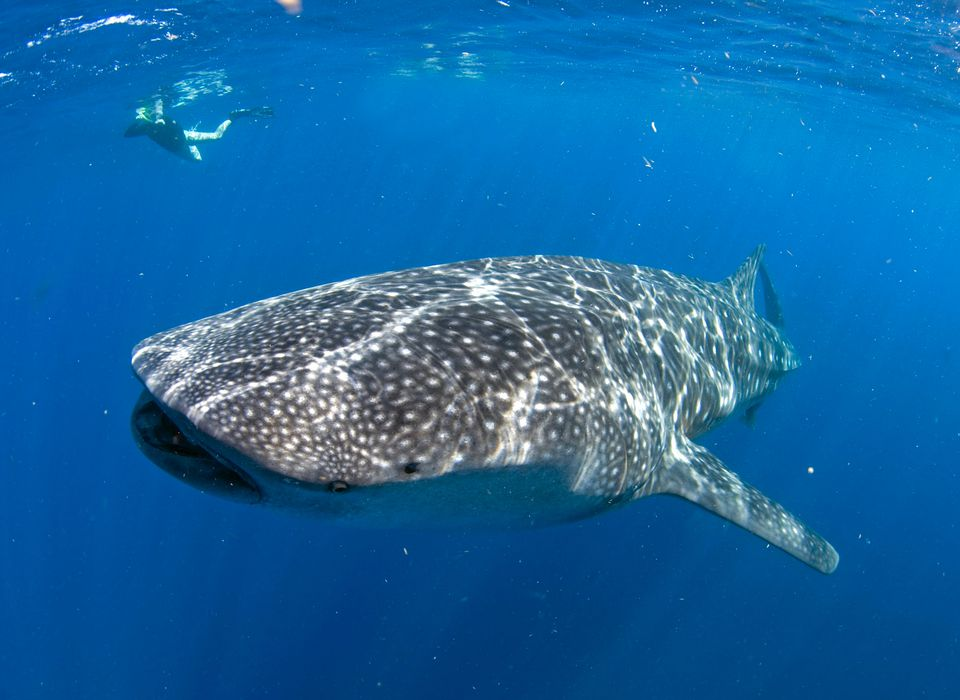 Whale shark with scuba diver