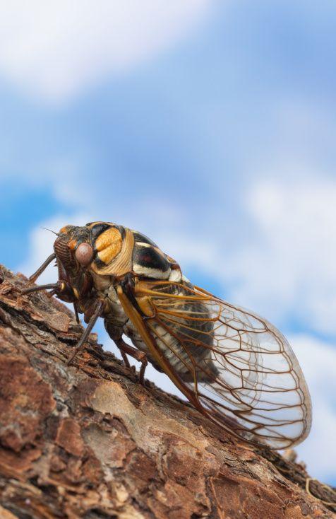 Cicada bug
