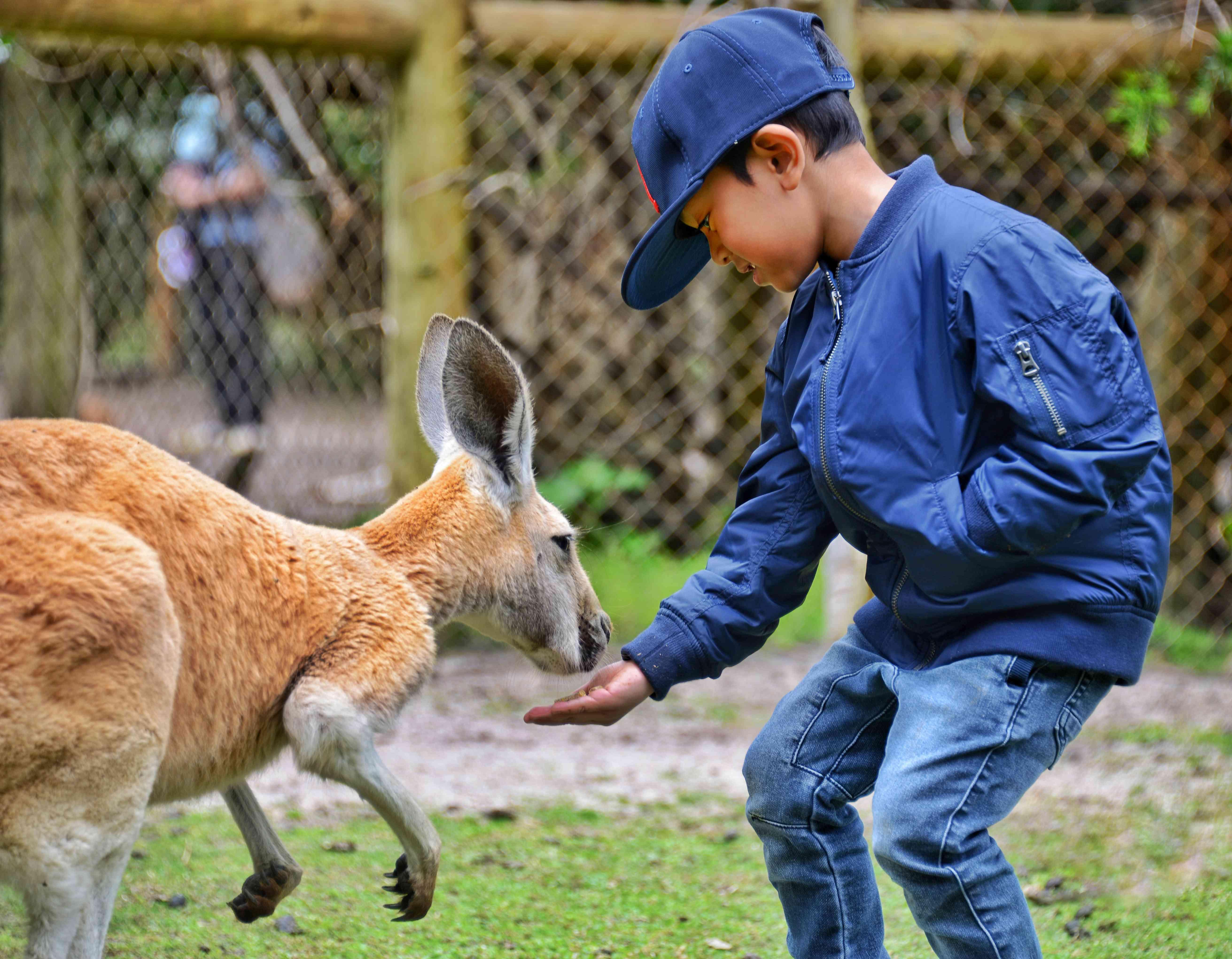 Boy Feeding Kangaroo While Standing At Zoo