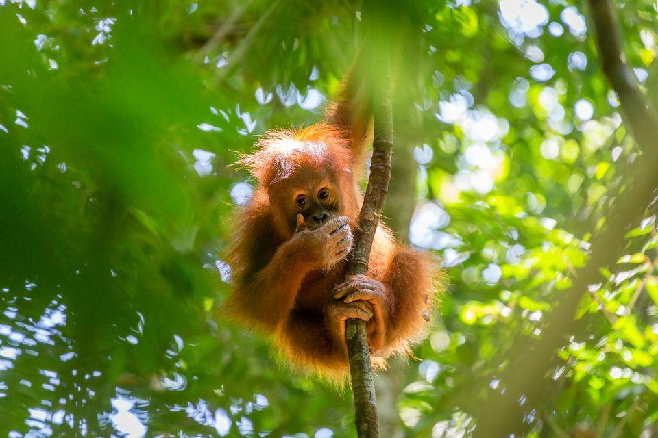 Un bebé orangután en Sumatra, Indonesia