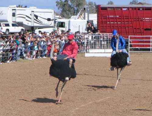 Ostrich Festival