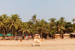 A cow on Agonda Beach, Goa, India