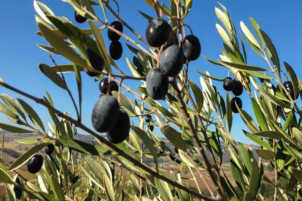 Tiempo para el nuevo aceite de oliva en Kiler Ridge, cerca de Paso Robles