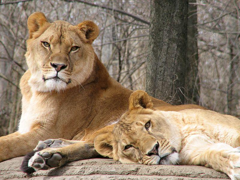 Foto de leones africanos en el zoológico de Pittsburgh