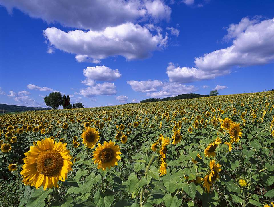 Field of sunflowers under clear sky
