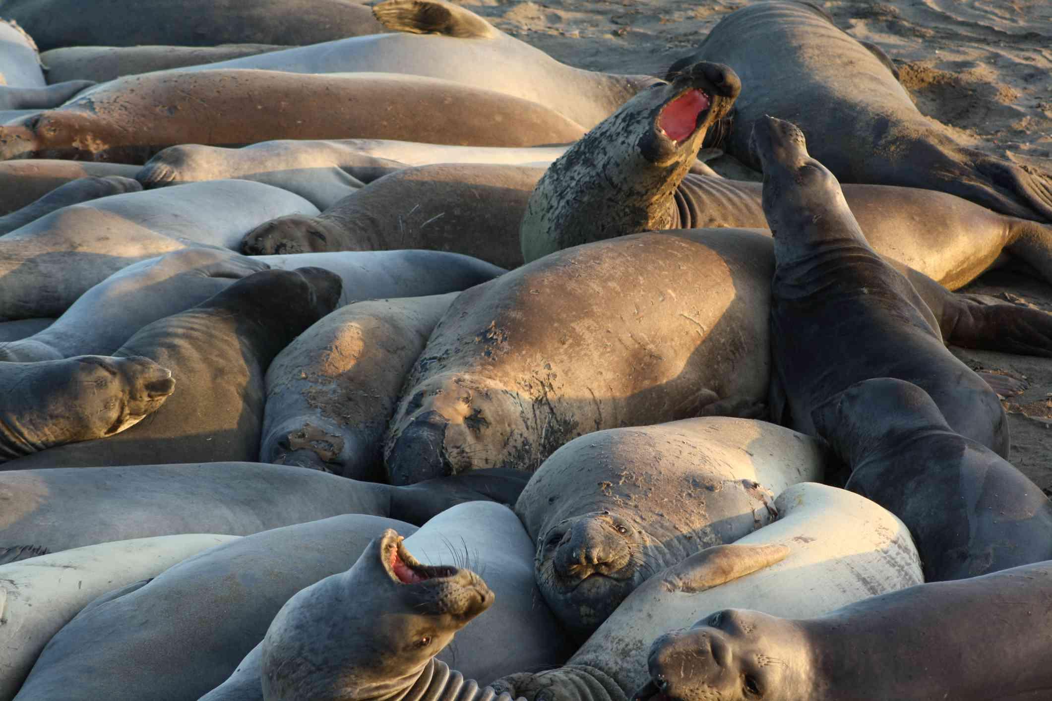Elephant Seals at Piedras Blancas near Hearst Castle